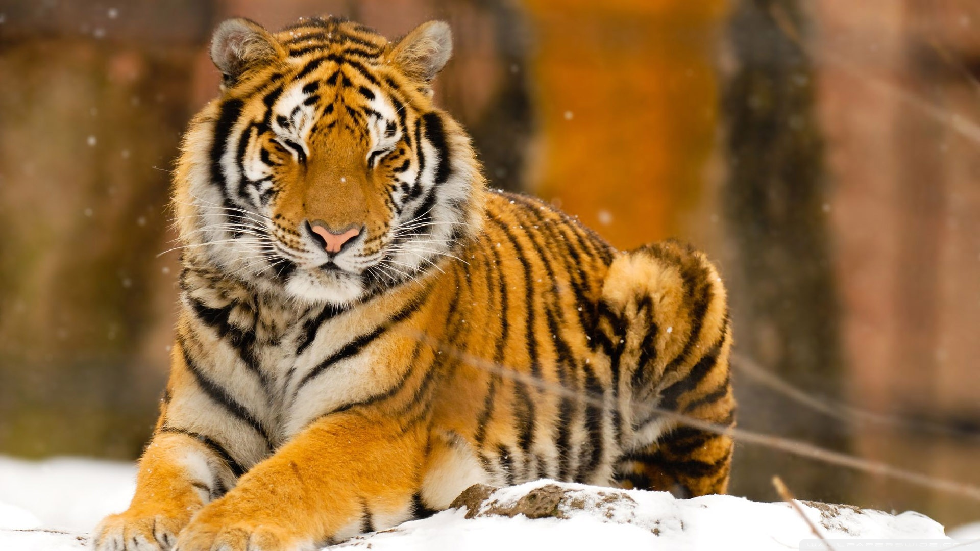 wild animal tiger essay Essays - largest database of quality sample essays and research papers on my favorite wild animal is tiger.
